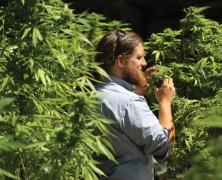 Ungeduldige Cannabis-Patienten
