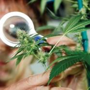 """Ein weiterer """"Medi-Cannabis""""-Staat in den USA"""