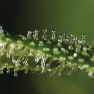 Der genetische Code von Marihuana wird publiziert