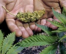 Cannabis lindert auch die Symptome der Crohn-Krankheit