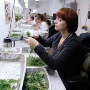 Colorado feiert die Legalisierung