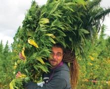 Hanflebensmittel und Cannabis in der Medizin