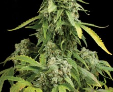 Rauchreport: Blue Cheese Auto