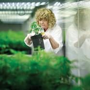 Medizinisches Cannabis in den USA entkriminalisiert