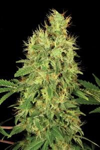 Chronic - eine seriöse medizinale Pflanze