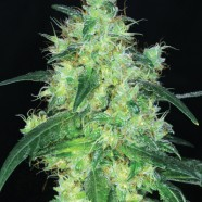 Sweet Skunk F1 Schnellversion
