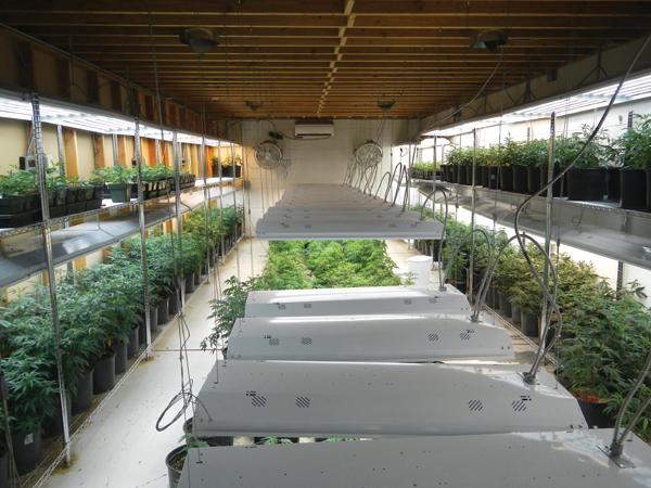 Cannabis Anbau