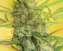 Eine seriöse medizinale Pflanze: Serious Happiness