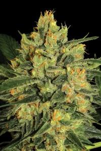 Nebula II CBD von Paradise Seeds