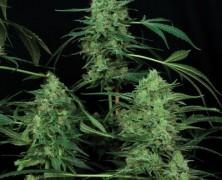 Paradise Seeds im CBD-Fieber