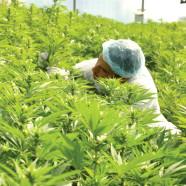 Tikun Olam: Cannabis soll Medizin sein!