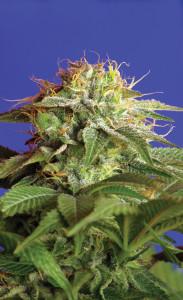 Green Poison von Sweet Seeds