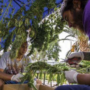 Chile: medizinisches Cannabis geerntet