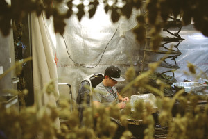 Saisonarbeit - Cannabis trimmen