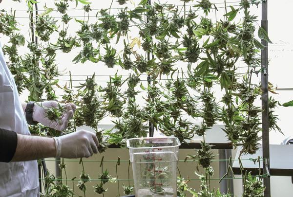 Medizinisches Cannabis - USA