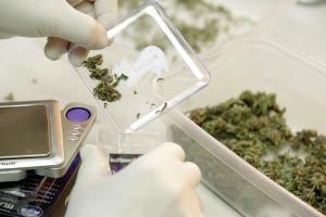 Cannabis wird verpackt