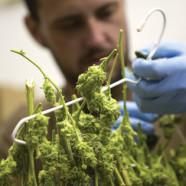 Deutschland plant Cannabisagentur