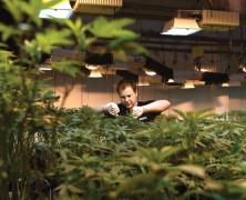 Staatliches Cannabismonopol vor Verfassungsgericht