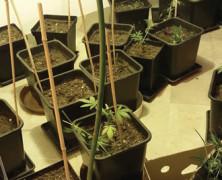 Justiz macht Jagd auf Cannabis-Senioren