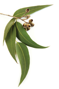 eucalyptus-07