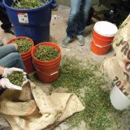 Cannabis statt Koka