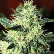 Green Poison® von Sweet Seeds – eine süße Versuchung