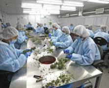 Scheuklappen der Behörden verhindern moderne Cannabis-Politik