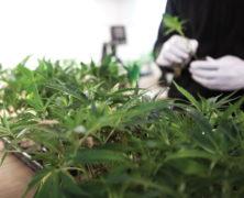 Magu-CBD: Legale CBD-Cannabisblüten aus Wien