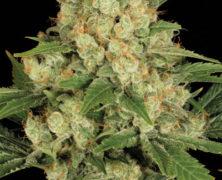 Eine seriöse medizinale Pflanze: AK-47