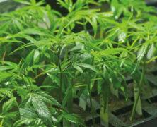 Cannabispläne der neuen Regierung in Österreich