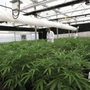 Krisenmanagement mit medizinischem Cannabis – auf griechische Art