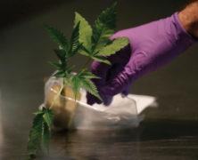 Verkaufsverbot für Stecklinge und medizinisches Cannabis – was nun?