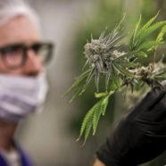 Legale Cannabisplantage in Siebenbürgen