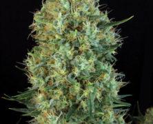 Eine seriöse medizinale Pflanze: Motavation
