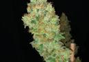 Eine seriöse medizinale Pflanze: Strawberry-AKeil