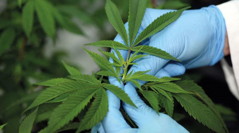 Dutch Passion kündigt Projekte mit medizinischem Cannabis in Australien, Kolumbien und Kanada an