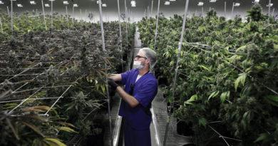 medizinische marihuana