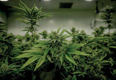 UNO erklärte Cannabis zu legaler Medizin